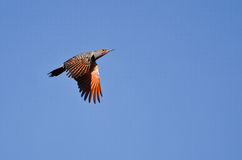 Northern Flicker Flying in a Blue Sky Stock Images