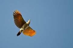 Northern Flicker Flying in a Clear Blue Sky Royalty Free Stock Image