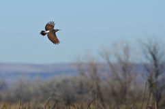 Northern Flicker Flying Over the Marsh Royalty Free Stock Images