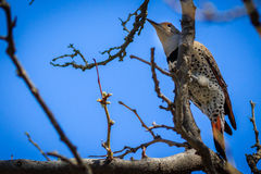 Northern Flicker grasping tree branch Royalty Free Stock Images