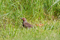 Northern Flicker in the grass Royalty Free Stock Images