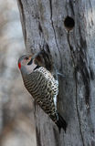 Northern Flicker male Royalty Free Stock Images