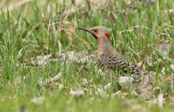 Northern Flicker male Stock Photography