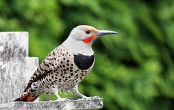 Northern Flicker - Male Stock Image