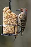 Northern Flicker on Peanut Feeder - Colaptes auratus Royalty Free Stock Photos