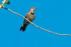 Northern Flicker Stock Photography