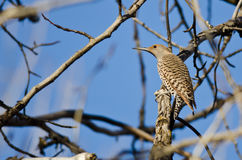 Northern Flicker Perched on a Branch in a Tree Royalty Free Stock Photo