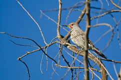 Northern Flicker Perched in a Tree Royalty Free Stock Image