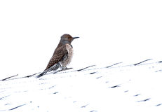 Northern Flicker Red Shafted Woodpecker Bird Femal. A female northern flicker red shafted woodpecker (Colaptes auratu ) bird on a snowy roof stock photography