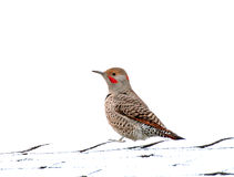 Northern Flicker Red Shafted Woodpecker Bird Male. A male red shafted northern flicker woodpecker (Colaptes auratu ) bird on a snowy roof stock images