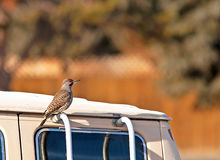 Northern Flicker Red Shafted Woodpecker on Van. A male northern flicker red shafted woodpecker (Colaptes auratu ) sitting on a van in the sun royalty free stock photography