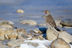 Northern Flicker Resting Beside the Snowy Winter River Stock Images
