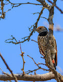 Northern Flicker returning gaze. Showing spotted underbelly Stock Photos