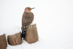 Northern Flicker in the snow royalty free stock image