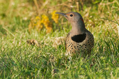 Northern Flicker Royalty Free Stock Photos