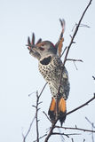 Northern Flicker Takes Flight. This northern flicker takes off showing its beautiful spotted breast feathers Royalty Free Stock Photo