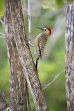Northern Flicker on tree in Grand Cayman Islands. Looking for insects royalty free stock photography