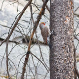 Northern Flicker on a tree Royalty Free Stock Image