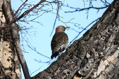 Northern flicker in a tree Stock Image