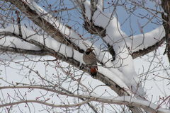 Northern Flicker in tree Royalty Free Stock Photography
