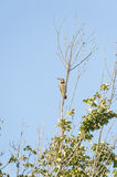 Northern Flicker vertical format Stock Photography
