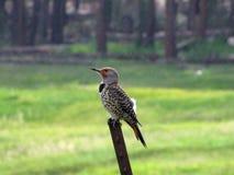 Northern Flicker (Woodpecker) Royalty Free Stock Photo