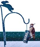 Northern Flicker Woodpecker. Alberta Canada bird feeding on garden birdfeeder during winter snowfall Royalty Free Stock Photo