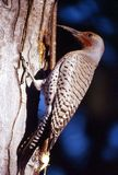 Northern Flicker Woodpecker (Colaptes auratus). Northern Flicker male woodpecker (Red shafted) on tree with tongue out Royalty Free Stock Image
