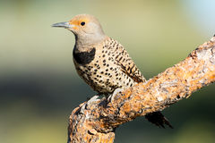Northern Flicker, Woodpecker. Oregon, US Royalty Free Stock Photos