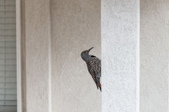 Woodpecker on a stucco post Stock Photos