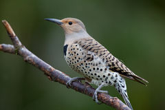 Northern Flicker, yellow shafted hybrid Royalty Free Stock Images