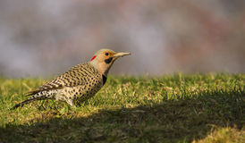 A Northern Flickr woodpecker stands in the late day sunlight. Royalty Free Stock Photos