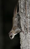 Northern Flying Squirrel at Night. Northern Flying Squirrel (Glaucomys sabrinus) clinging upside down to maple tree at night - Haliburton, Ontario royalty free stock photos