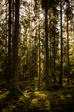 Northern forest Royalty Free Stock Photo