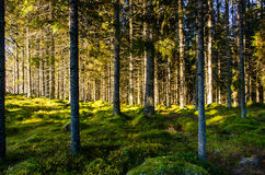 Northern forest Stock Photo