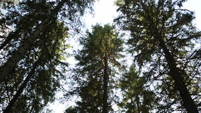 Northern forest- trees moving stock video footage