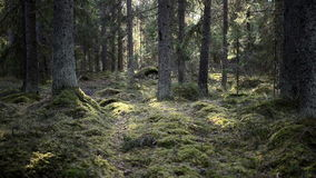 Northern forest, video with sound stock footage