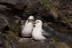 Northern fulmar Stock Photography