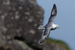 Northern fulmar Stock Photo