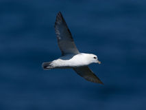 Northern fulmar Stock Photos