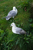 Northern Fulmar. Couple on a cliff Royalty Free Stock Photo