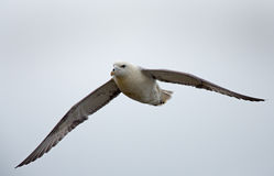 Northern Fulmar Stock Image