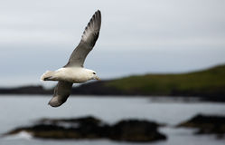 Northern Fulmar Stock Images