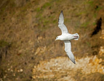 Northern Fulmar Royalty Free Stock Image