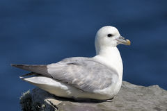 Northern Fulmar Royalty Free Stock Photography