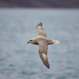 Northern Fulmar. (Fulmarus glacialis). Isfjorden, Longyearbyen, Svalbard, Norway Stock Images