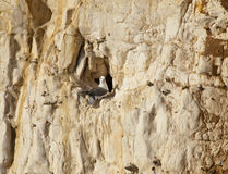 Northern Fulmar on Cliff Royalty Free Stock Photography