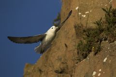 Northern fulmar in flight by cliff edge in Aberdour, Fife Scotland royalty free stock image