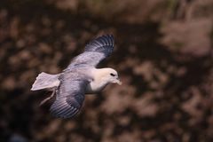 Northern Fulmar in flight over Skokholm Island cliffs 2 Stock Photo