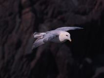 Northern Fulmar in flight over Skokholm Island cliffs 3 Stock Image